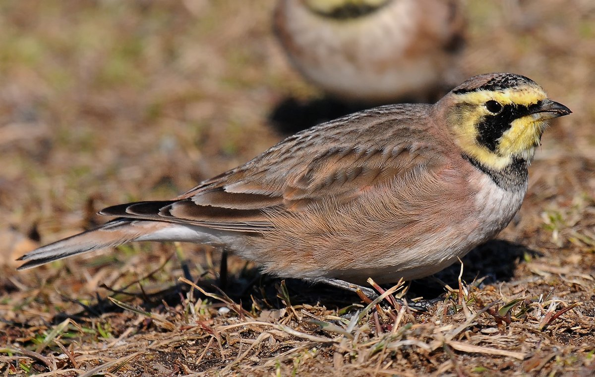 Horned Lark. Photo by John Gavin